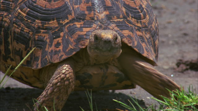 a tortoise with a black and orange shell crawls over the ground. - tortoise shell stock videos & royalty-free footage