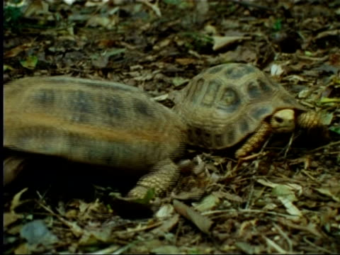 tortoises mating in indian rainforest - tortoise stock videos & royalty-free footage