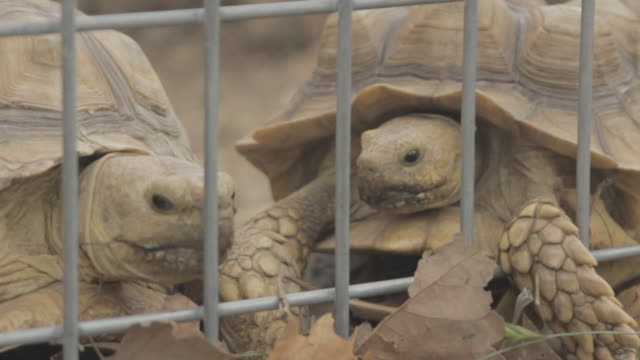 tortoises together in a cage - tortoise stock videos and b-roll footage