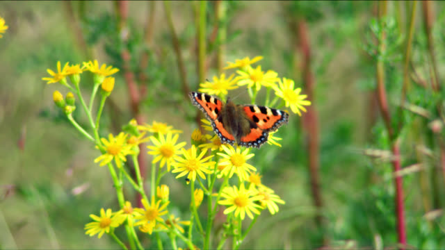 A tortoiseshell butterfly clings to yellow wildflowers.