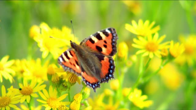 A tortoiseshell butterfly flies from a wild daisy.