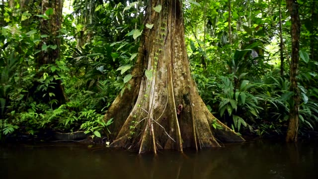 tortuguero national park, costa rica, central america - tree trunk stock videos & royalty-free footage