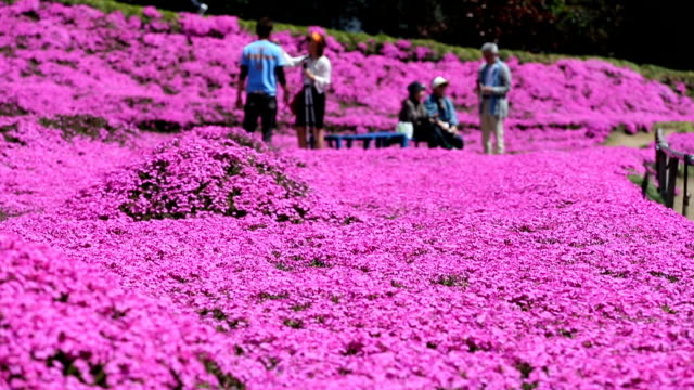 toshiyuki kuroki planted thousands of phlox subulata so people would come to see them and spend time with his blind wife so she didn't feel lonely... - 妻点の映像素材/bロール