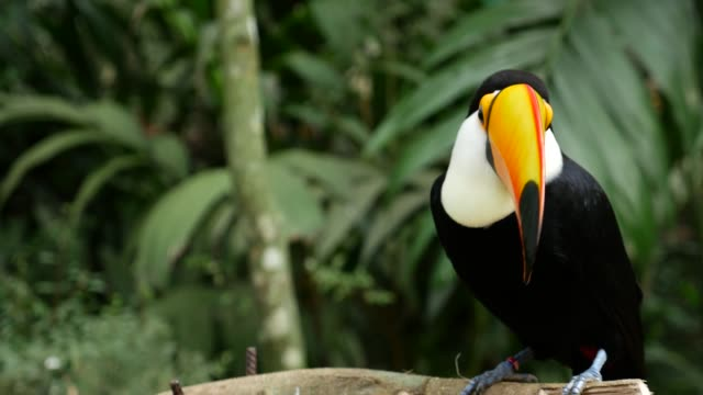 toucan bird on the nature - south america stock videos & royalty-free footage