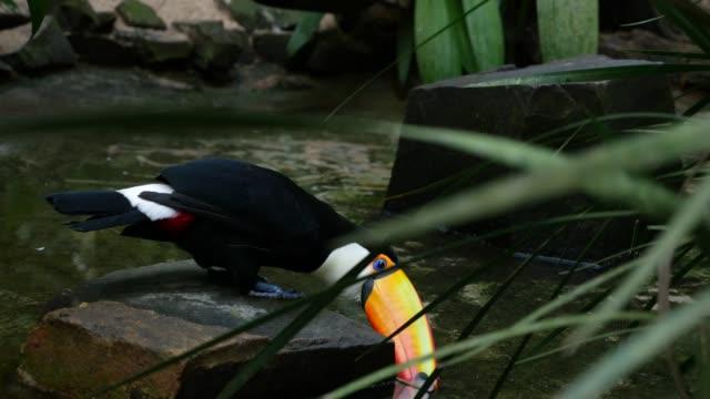 vídeos de stock, filmes e b-roll de pássaro tucano sobre a natureza - tucano toco