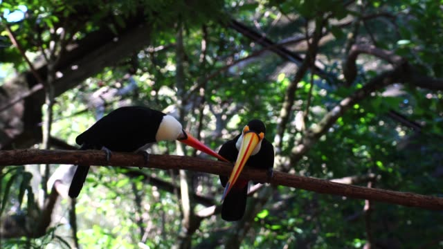toucan bird on the nature - group of animals stock videos & royalty-free footage