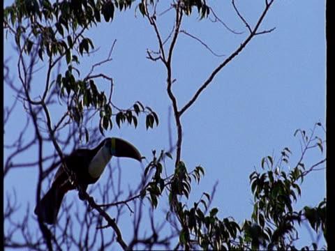 Toucan calling in tree, long shot, Amazon, South America