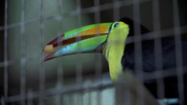 Toucan eating a mango