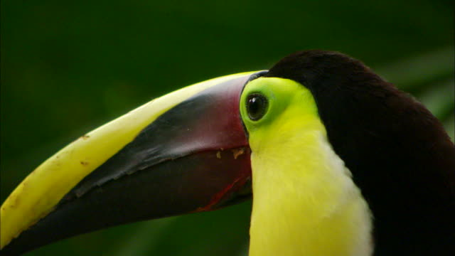 A toucan looks around. Available in HD.