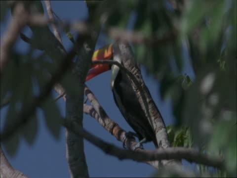 vídeos de stock, filmes e b-roll de a toucan perches in a tree then flies away. - tucano toco