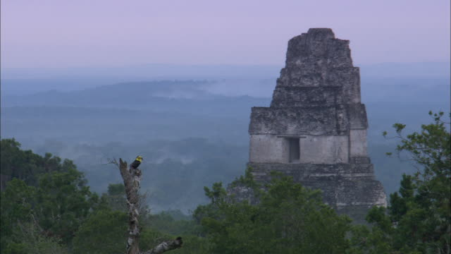 a toucan perches near the tikal temple. - guatemala stock videos & royalty-free footage