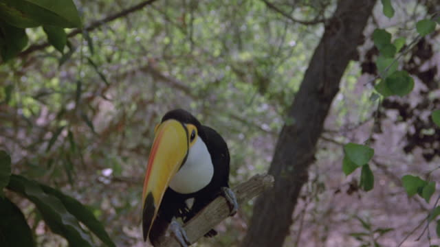 a toucan sits on a branch and looks around. - south america stock videos and b-roll footage