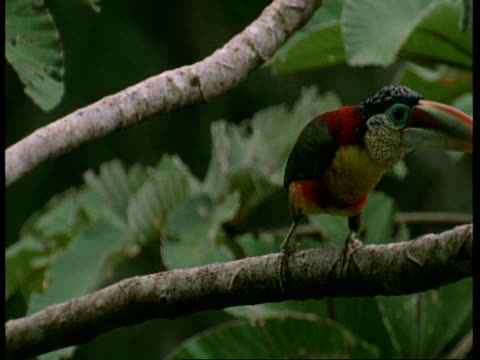 MS Toucan, sitting in tree looking around, Amazon, South America