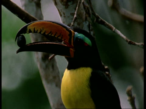 CU, toucan with berry in beak, Amazon, South America