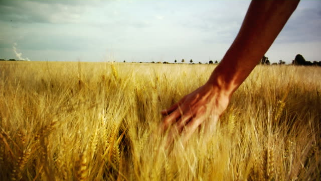 touching barley (hd 1080) - wide stock videos and b-roll footage