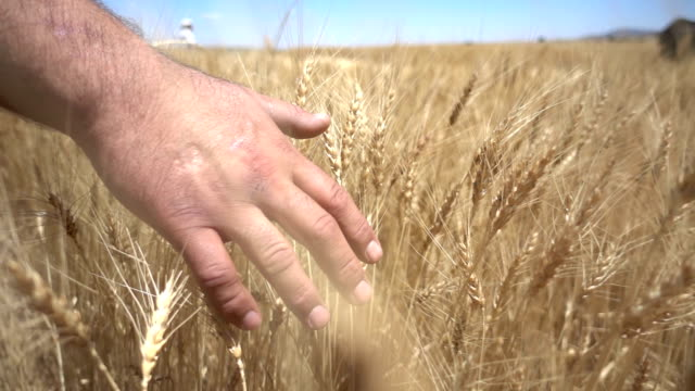 Touching In Wheat