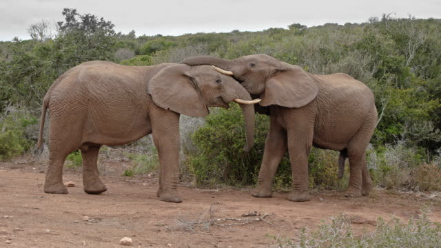 touching moments of  african elephants - two young elephants - both with tusks - side by side - part-4: testing their strength in a playful way - erezione video stock e b–roll