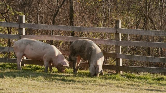tourism farm animals - pig stock videos & royalty-free footage