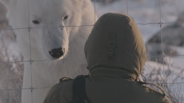 tourist admires polar bear, canada - protection stock videos & royalty-free footage