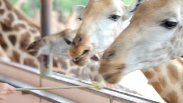 vídeos y material grabado en eventos de stock de turista lactancia jirafas - diseño natural