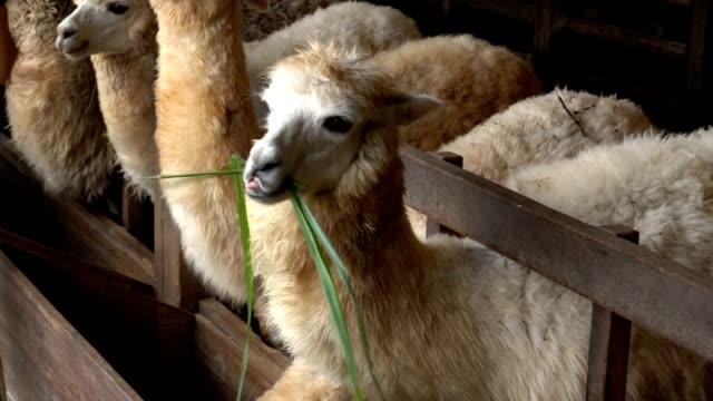 tourist feeding green grass leaves to llama alpacas in animals farm