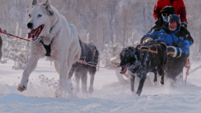 SLO MO Tourist having fun dog sledding in Norway