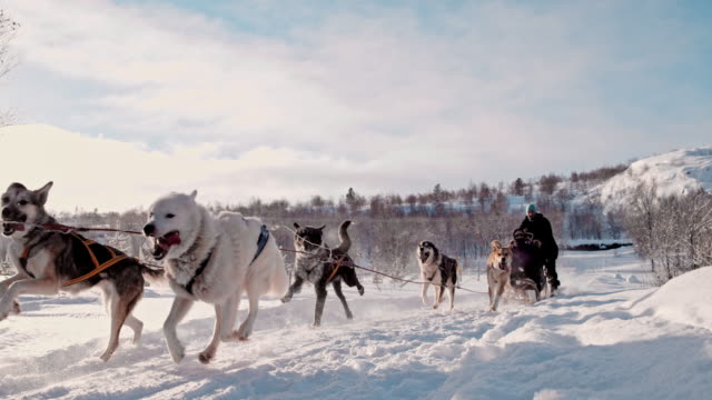 SLO MO Tourist having fun on a sled pulled by group of dogs