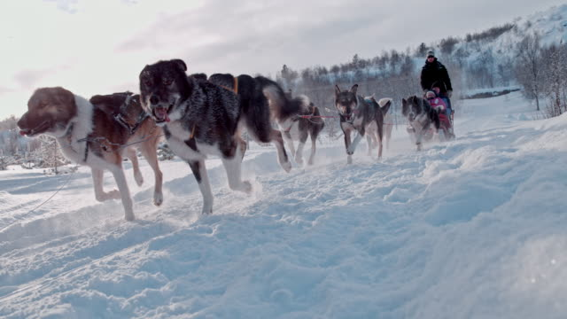 vídeos de stock e filmes b-roll de slo mo tourist having fun on a sled pulled by group of dogs - desporto radical