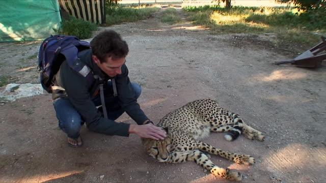 vídeos y material grabado en eventos de stock de ws tourist petting domesticated cheetah / khorixas, namibia - felino grande