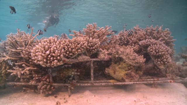 tourist snorkelling over artificial reef with schools of fishes, baa atoll, the maldives - restoring stock videos & royalty-free footage