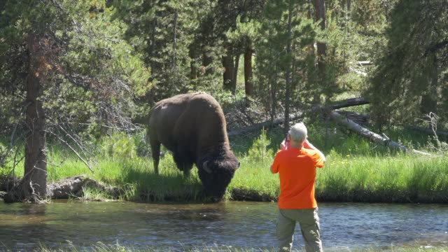 tourist taking picture of bison - american bison stock videos & royalty-free footage
