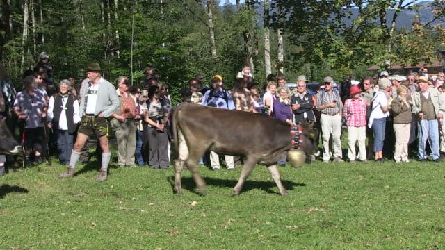 ms tourist watching walking group of cattles / oberstdorf, bavaria, germany - arbeitstier stock-videos und b-roll-filmmaterial