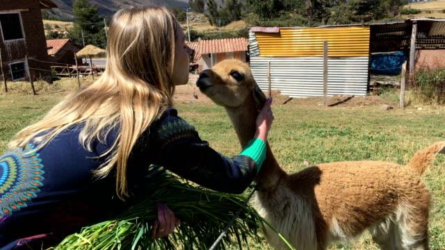 vídeos de stock e filmes b-roll de tourist woman interacting with the alpacas in peru - tourist