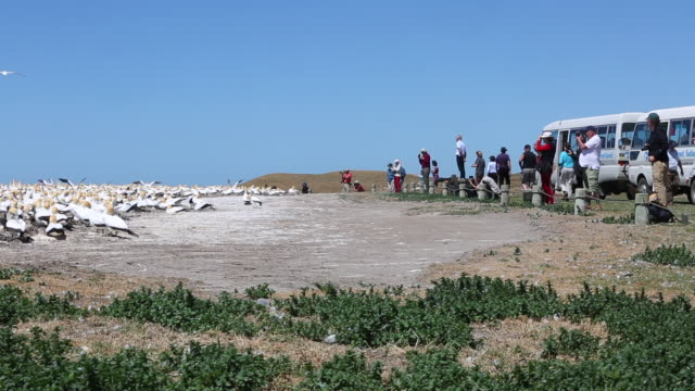 tourists at gannet colony at cape kidnappers napier - 2014 stock videos & royalty-free footage