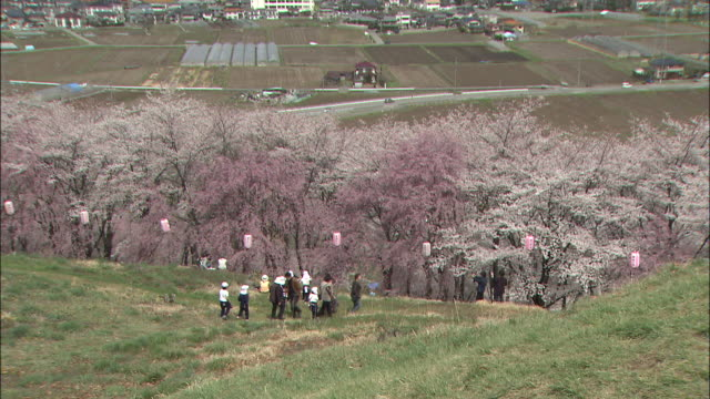 tourists enjoy the display of blooming yoshino cherry trees near mt. kobo. - kanagawa prefecture stock videos and b-roll footage