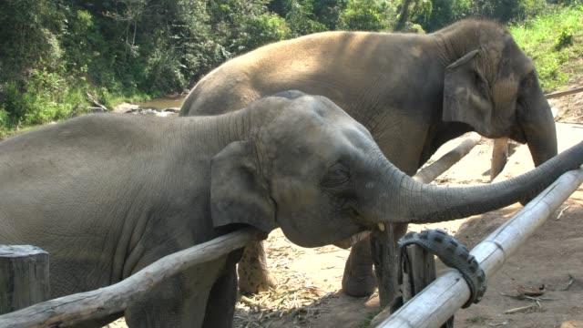 tourists feeding elephants at  an elephant farm in northern thailand - tierische nase stock-videos und b-roll-filmmaterial