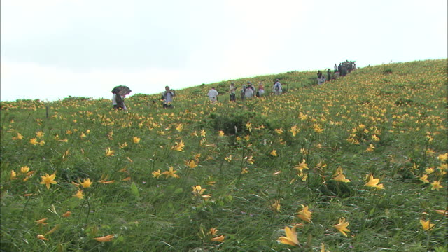 Tourists gaze at a hillside covered with blooming daylilies.