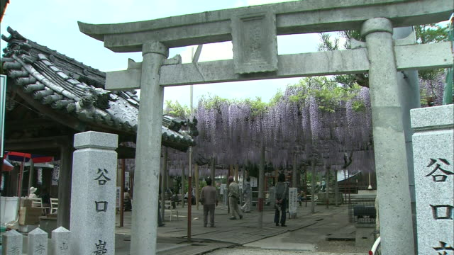 tourists observe the ancient wisteria vines within the gate of a shinto shrine. - shiso stock videos & royalty-free footage