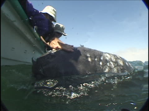 tourists pet a gray whale surfacing in a lagoon. - whale watching stock videos and b-roll footage