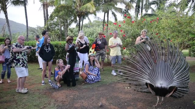 tourists photographing peacocks at the smith family garden and luau before dinner is served, during a commercial luau for tourists at smith family... - tourist stock videos & royalty-free footage