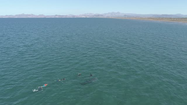 vidéos et rushes de tourists snorkel next to a whale shark, the largest fish in the world in the gulf of california, in the protected area of bahia de la paz as part of... - organisme aquatique