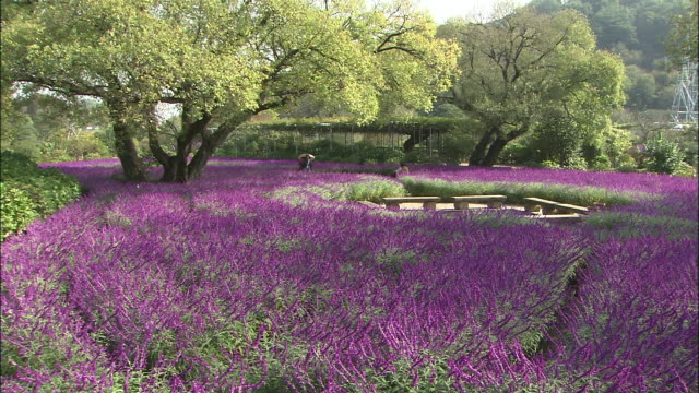 Tourists stroll through a meadow of amethyst sage flowers.