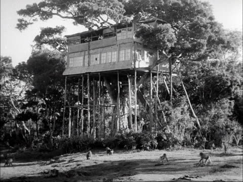 Tourists throw food to a pack of baboons from the Treetops hotel in Kenya 1953
