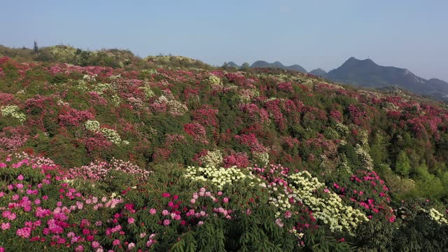 tourists visit rhododendron blossom garden on march 23, 2021 in bijie, guizhou province of china. - blossom stock videos & royalty-free footage