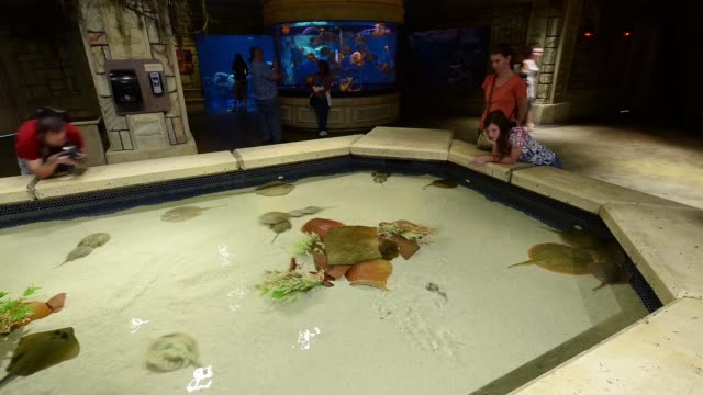 tourists visit the touch pool featuring stingrays and horseshoe crabs at the shark reef aquarium at the mandalay bay resort and casino on october 22... - horseshoe stock videos and b-roll footage