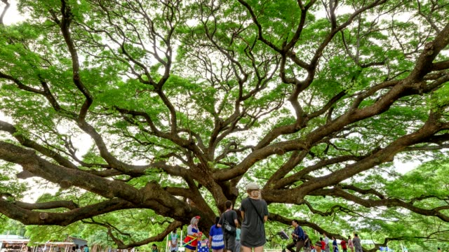 tourists visiting to samanea saman or rain tree the biggest tree - zoom out stock videos & royalty-free footage