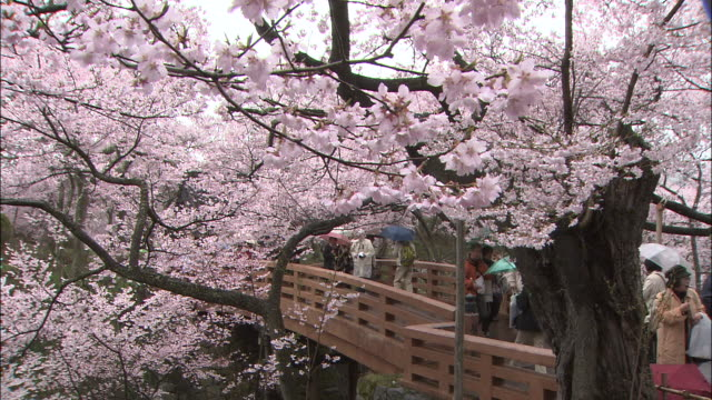 tourists walk along a footbridge lined with blossoming spring cherry trees. - nagano prefecture stock videos and b-roll footage