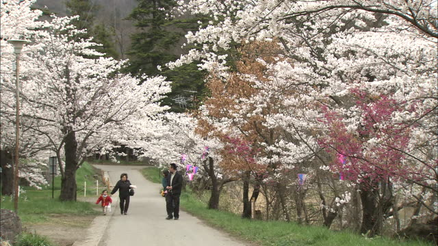 tourists walk along a path lined by blooming cherry trees in haruta park. - nagano prefecture stock videos and b-roll footage