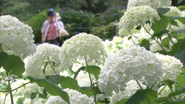 vídeos y material grabado en eventos de stock de tourists walk through a flower garden past the hydrangeas. - hortensia
