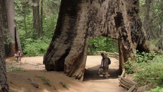 tourists walking down the big oak flat road at tuolumne grove and giant sequoias, yosemite valley, unesco world heritage site, california - riesenmammutbaum stock-videos und b-roll-filmmaterial